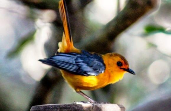 Birding Robin