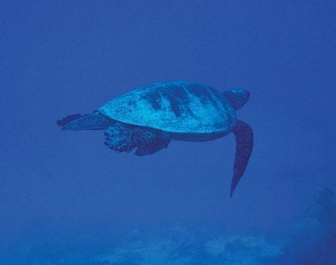 Vamizi 22 turtle