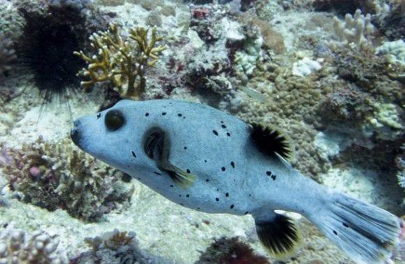 ossimba 26 fish