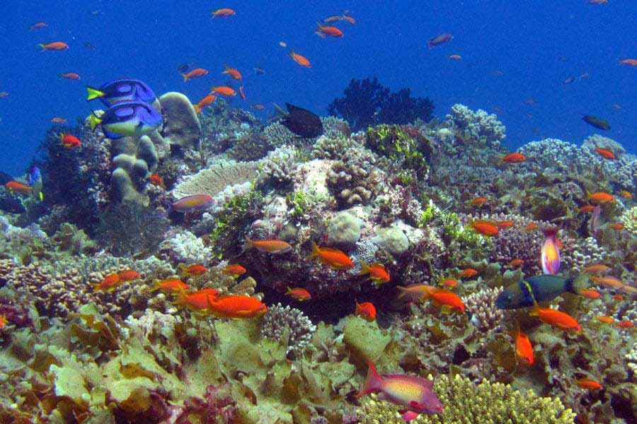 Situ island resorts Diving 001 coral and fish full size