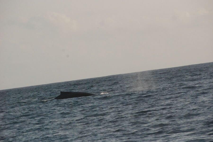 Situ island resorts Diving 002 whale