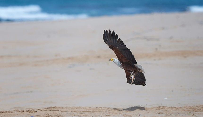 Anvil Bay 007 Fish Eagle on the beach