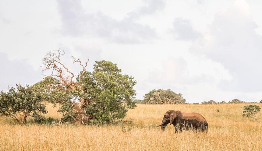 Anvil Bay 010 Elephant in Maputo Special Reserve